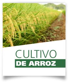 Ficha Cultivo de arroz